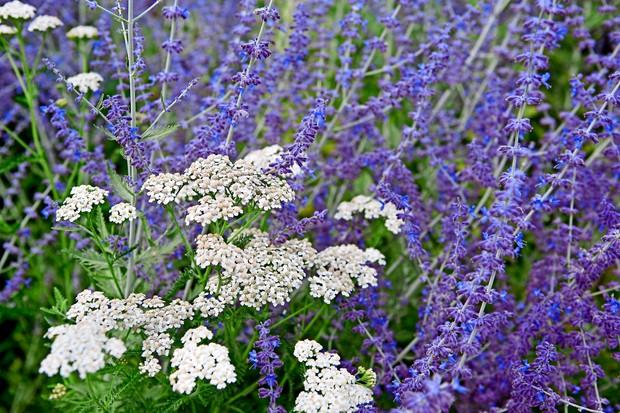 Masses of stalks of Russian sage flowers