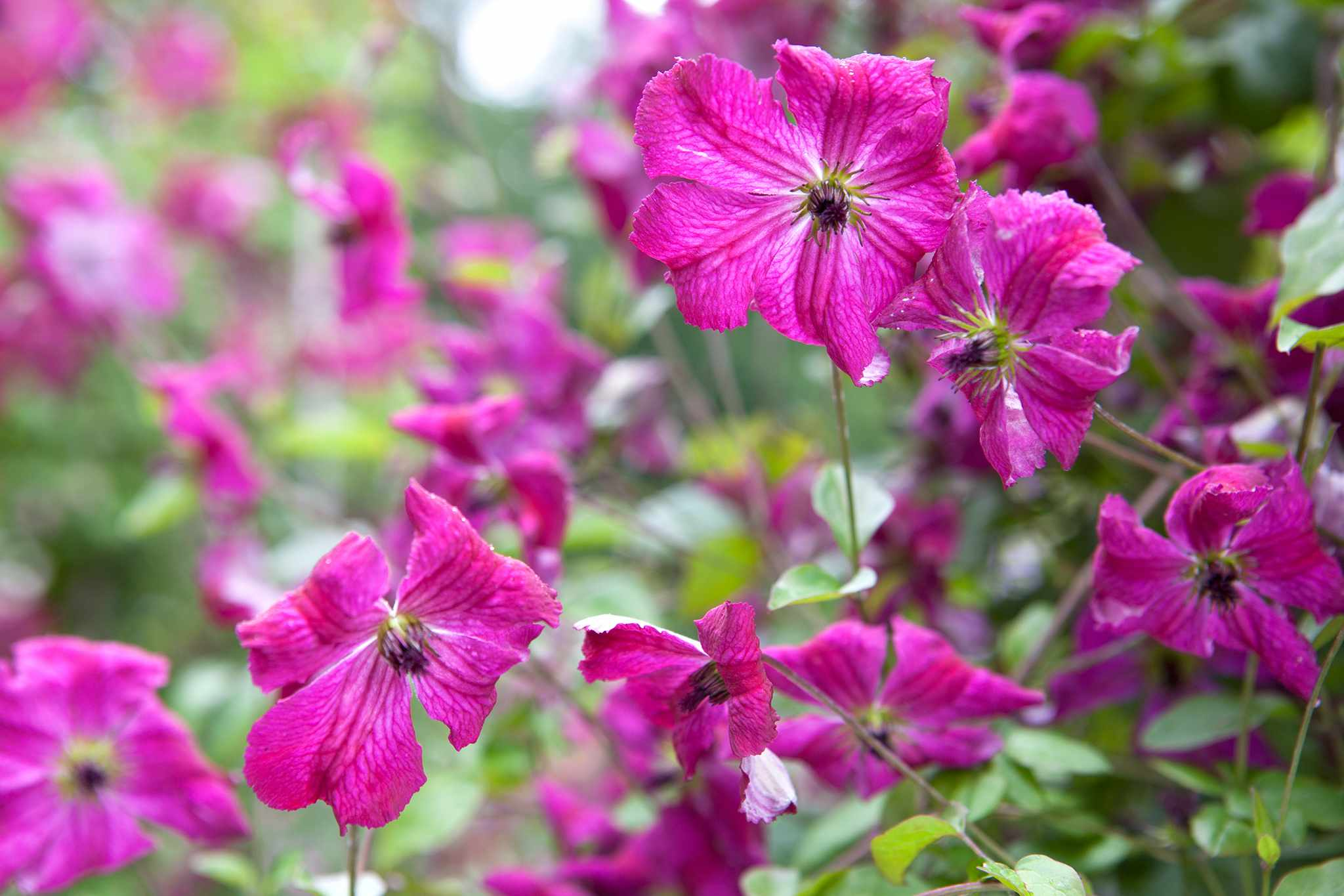10 Pretty Summer Clematis to Grow