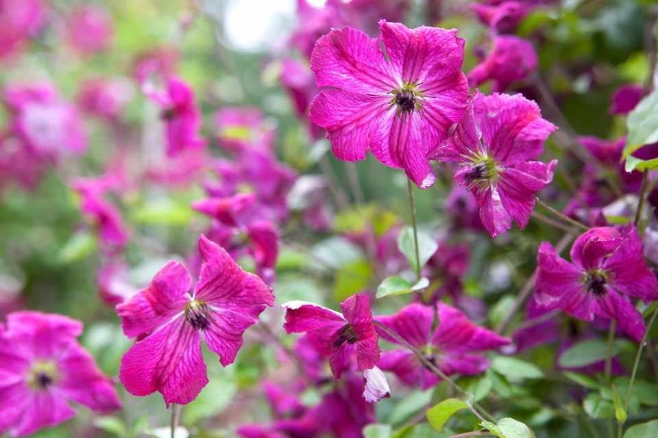 10 Pretty Summer Clematis To Grow Gardenersworld