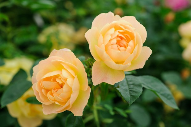 Peachy yellow rose blooms