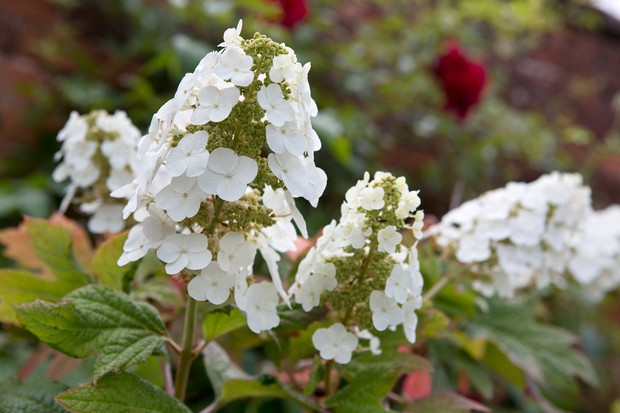 hydrangea-quercifolia-4