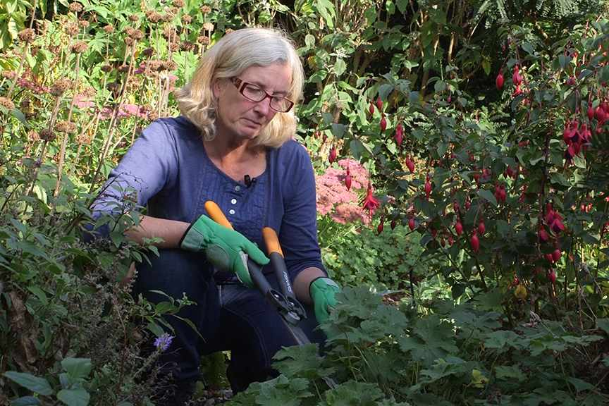 Cutting back geraniums NFG video
