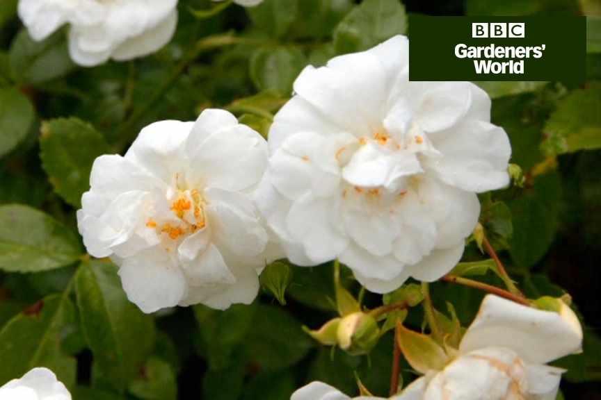 How To Grow Rambling Roses In Trees Gardenersworld Com