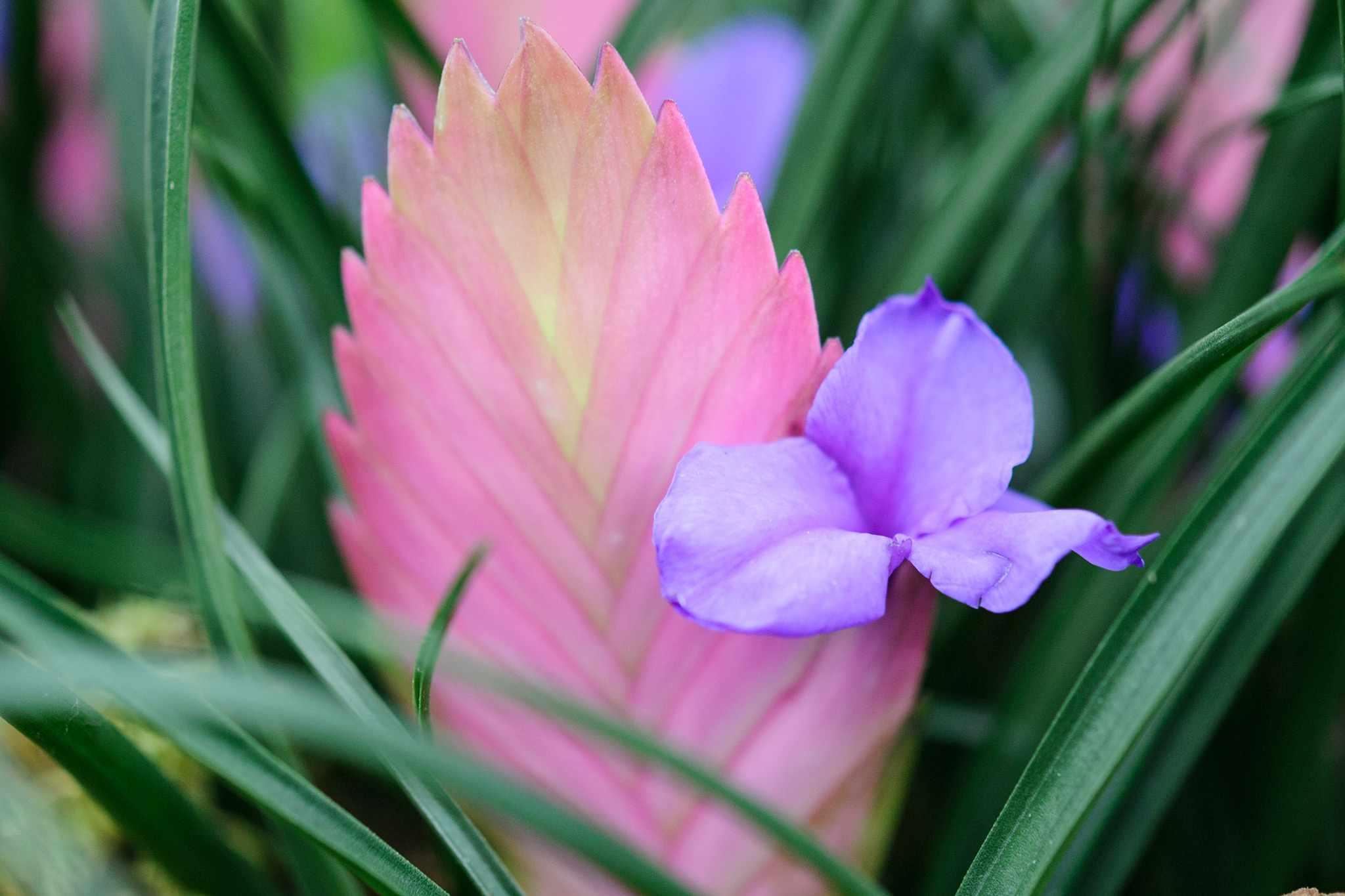 Pink bromeliad flower stalk with mauve/blue flower
