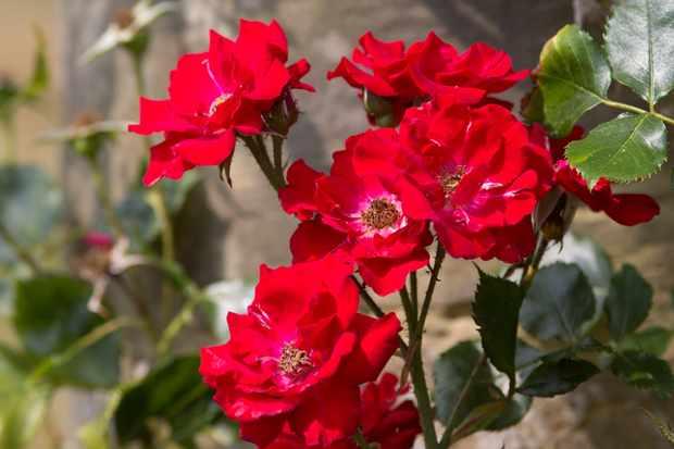 climbing-rose-rosa-parkdirektor-riggers-3