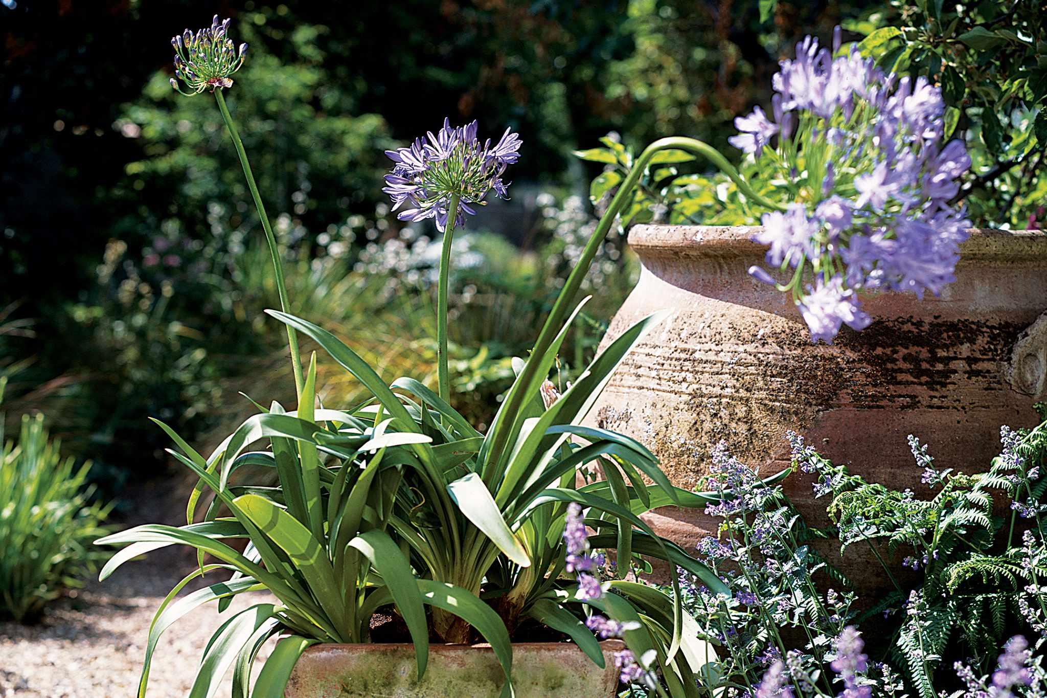 Agapanthus pot display