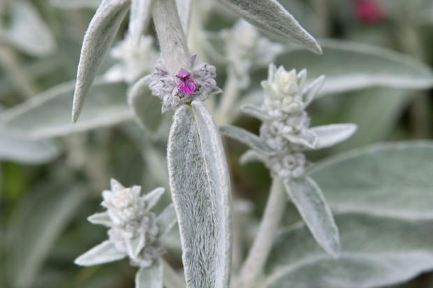 Furry, silver foliage of stachys