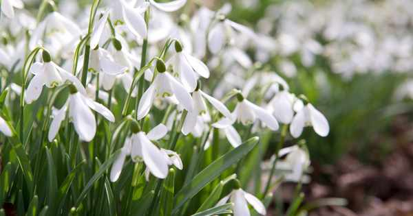Three tips for growing snowdrops