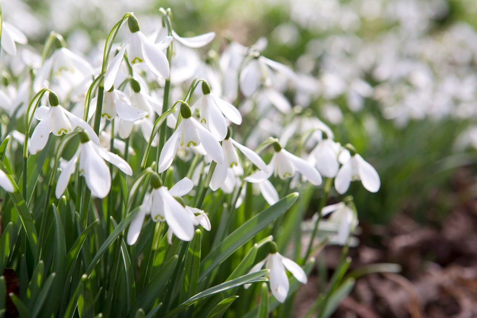 Three Tips For Growing Snowdrops Bbc Gardeners World Magazine