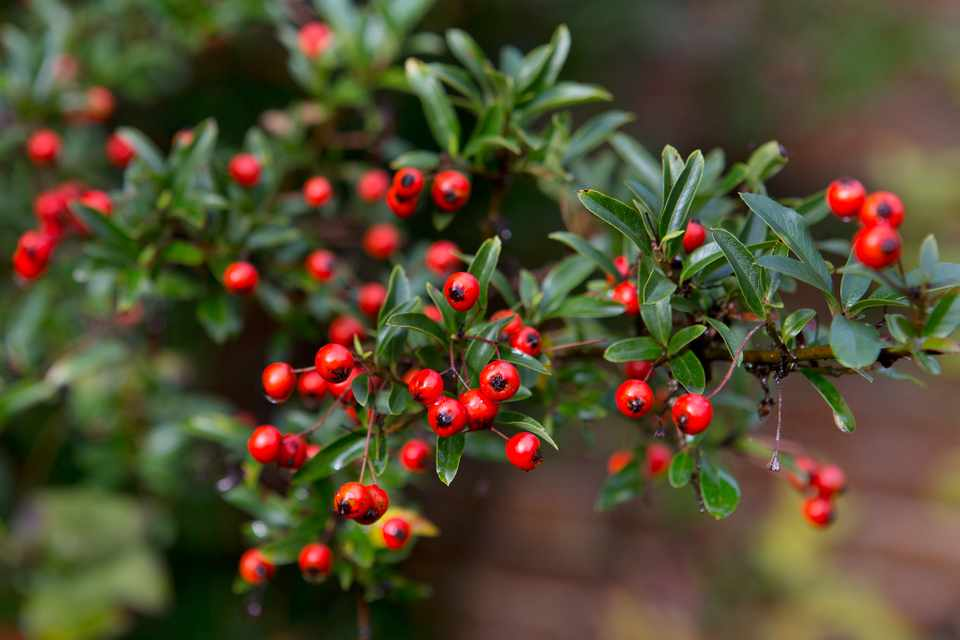 Climbers for wildlife - pyracantha
