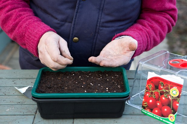 Sowing tomato seeds in a tray in a propagator