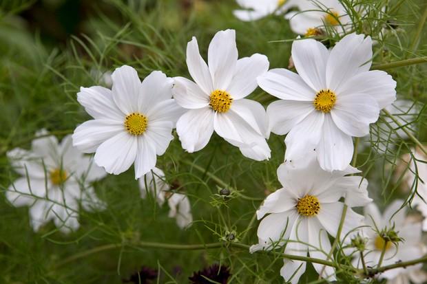 White flowers of Cosmos bipinnatus