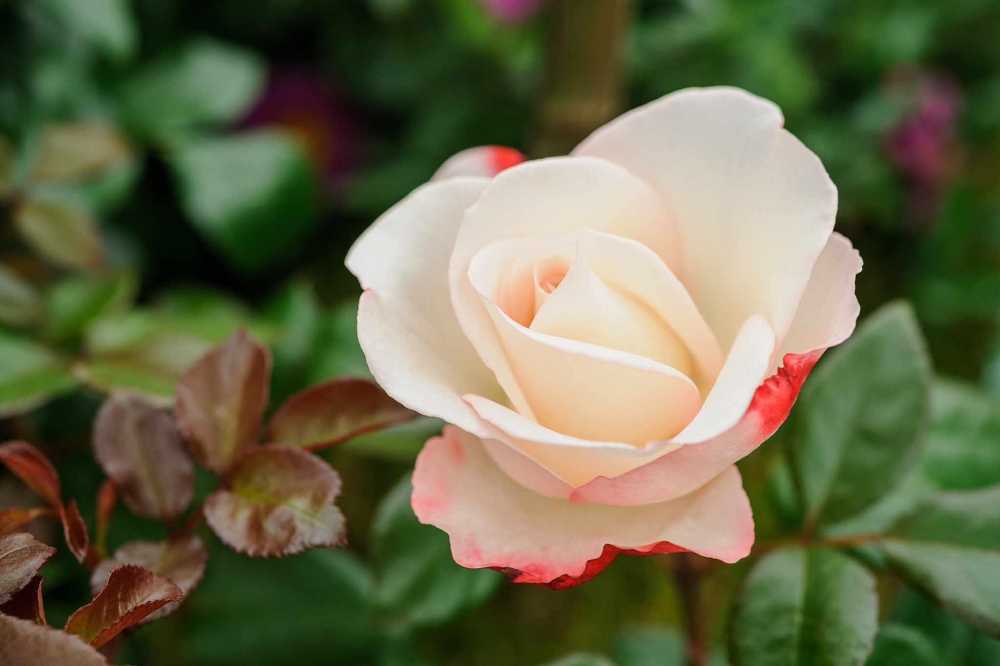 Hybrid Tea Roses to Grow