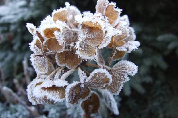 frosted-hydrangea-flowerheads-2