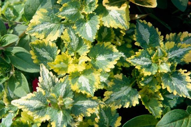 Silver, green and yellow variegated foliage of <em> Lamium maculatum</em> 'Dellam'