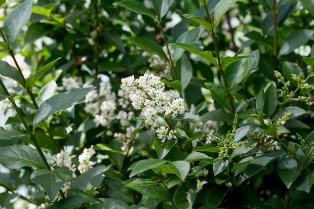 Privet, bearing small white flowers