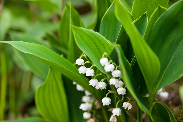 lily-of-the-valley-11