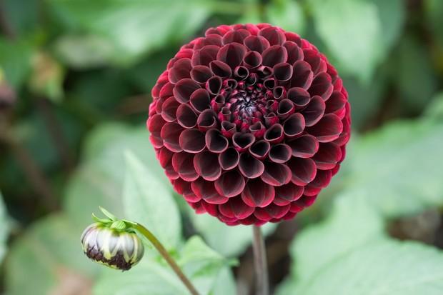 Dark red ball-shaped bloom of Dahlia 'Aurora's Kiss'