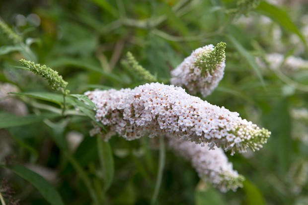 Pale-pink blooms of <em>Buddleja davidii</em> 'Les Kneale', on lighter-green foliage