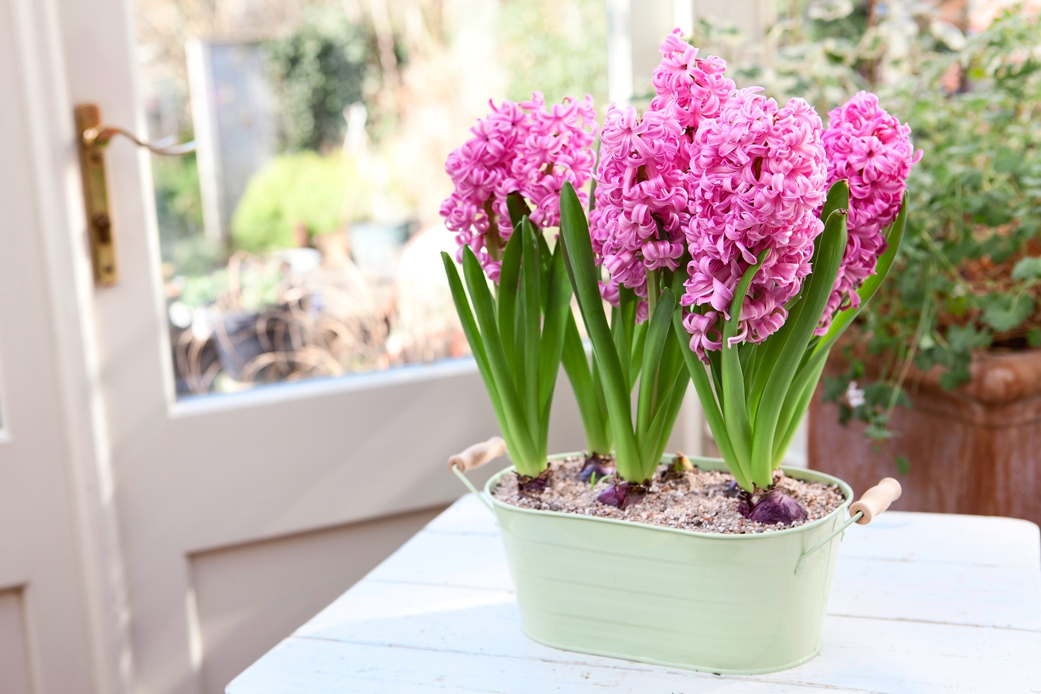 Pink hyacinths growing indoors