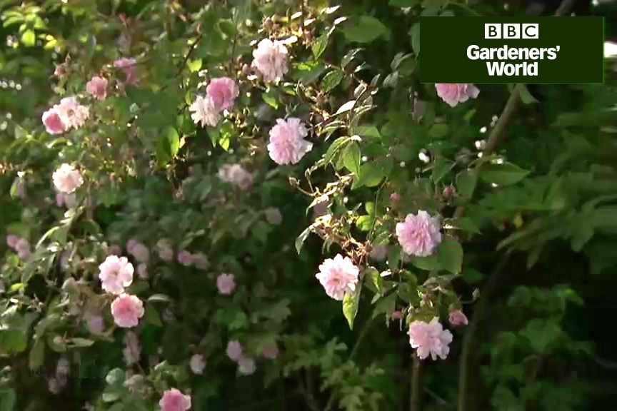 How to prune a rambler rose video