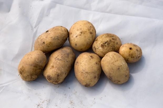potato-maris-piper-2