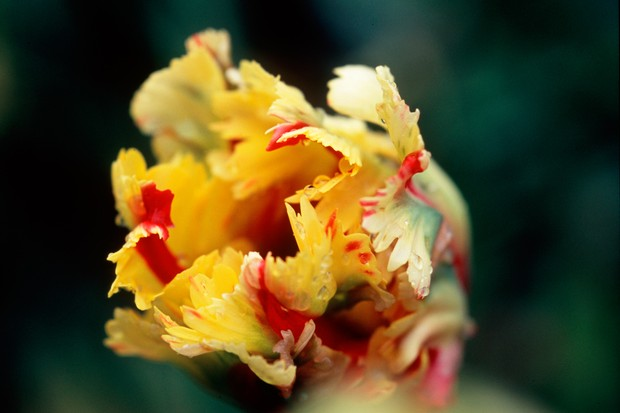 Twisted and frilled, red-streaked yellow petals of Tulip 'Flaming Parrot'