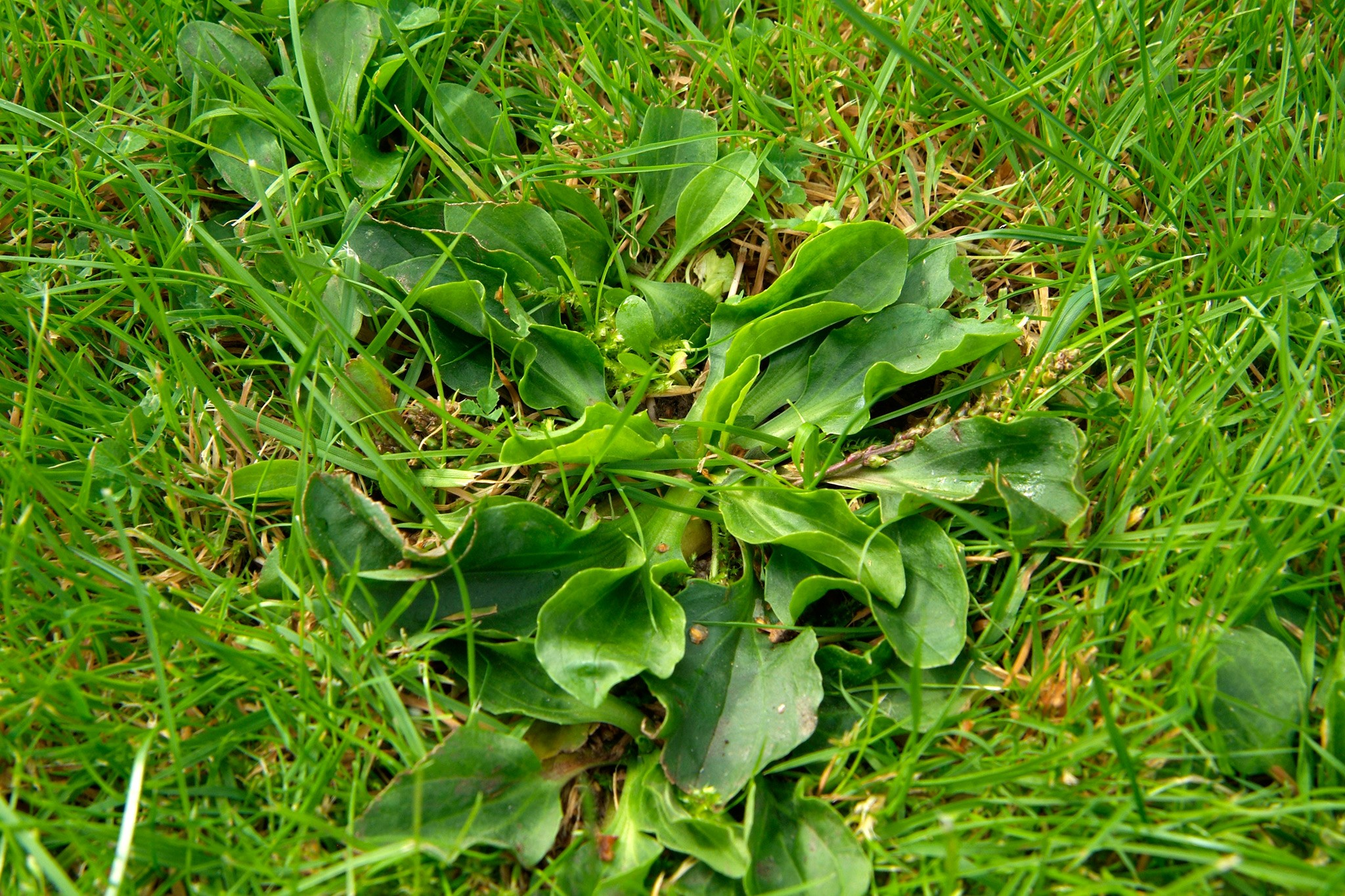 Problem Weeds: Greater Plantain