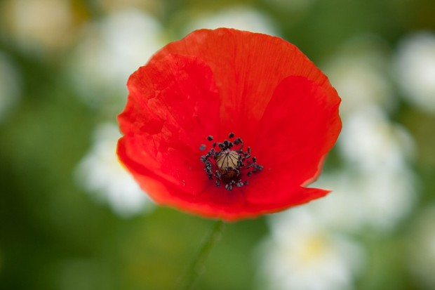 A red field poppy