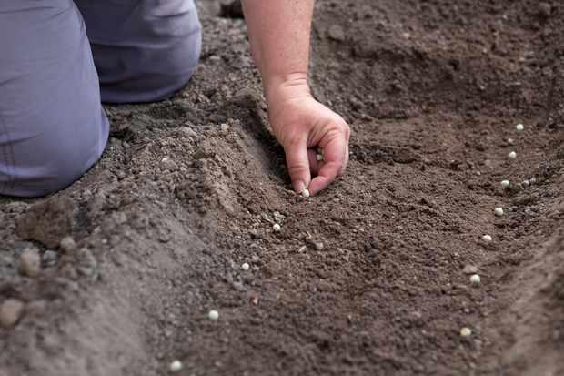sowing-pea-seeds-3