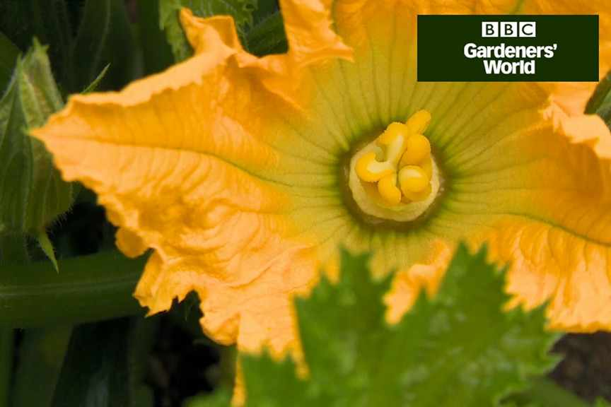 How to harvest courgettes