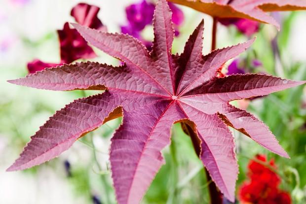 castor-oil-plant-ricinus-communis-4