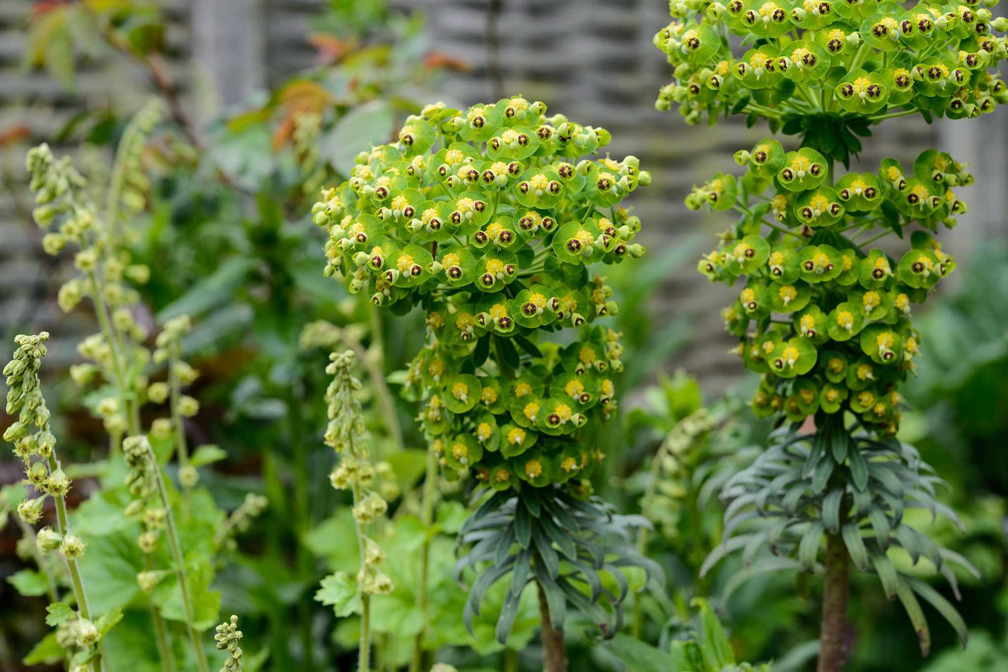 Euphorbia characias subsp. wulfennii