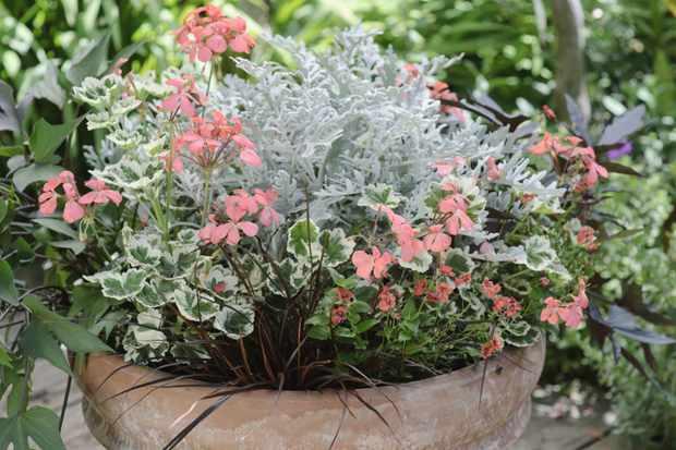 Pelargonium and ipomoea pot display