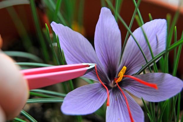 Harvesting the saffron strands