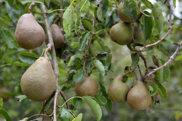Crops for shade - pears