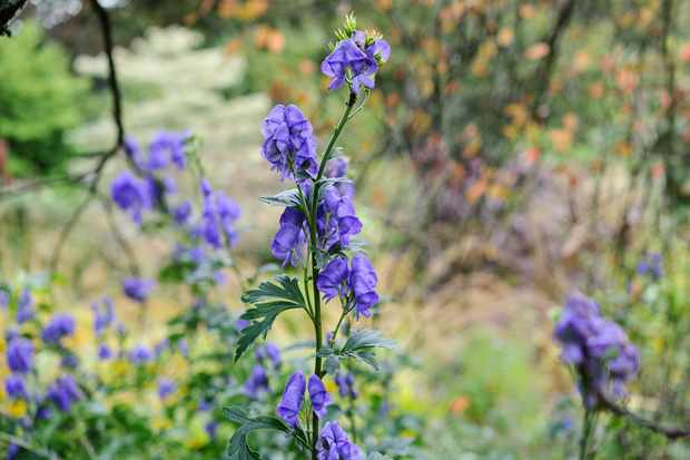 Most Poisonous Garden Plants - Monkshood, wolf's bane, Aconitum