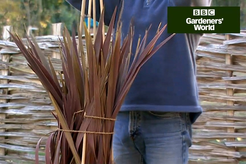 How to protect a cordyline for winter video