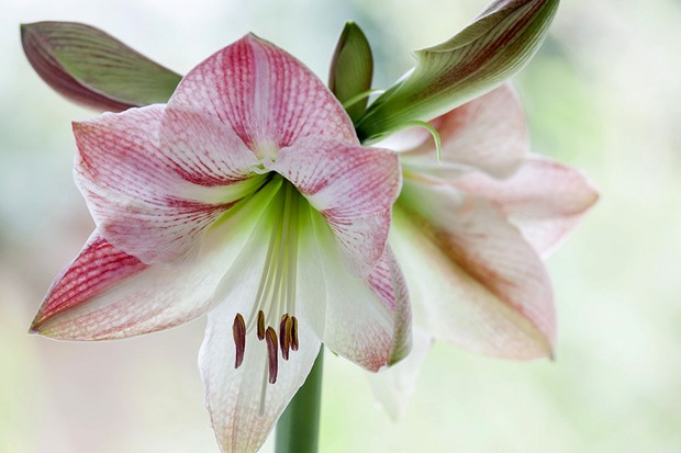 What should I do with a spent hippeastrum?