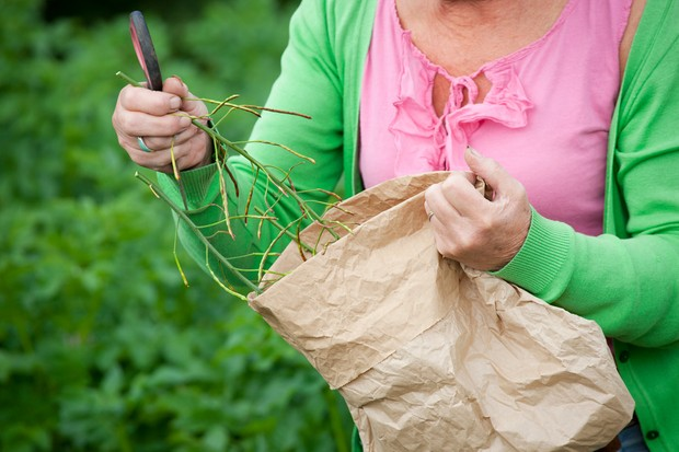 Saving seeds - placing the seedhead in a paper bag
