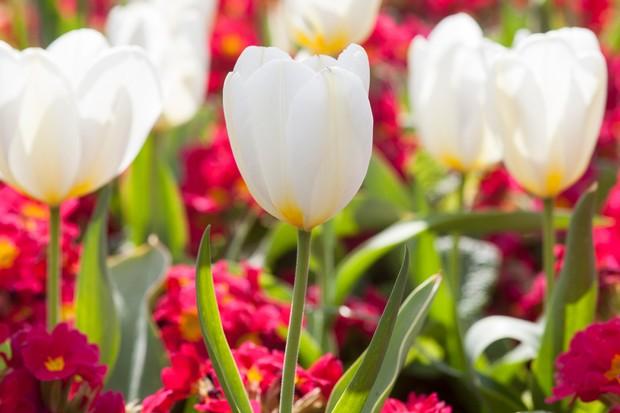 tulip-and-primula-2