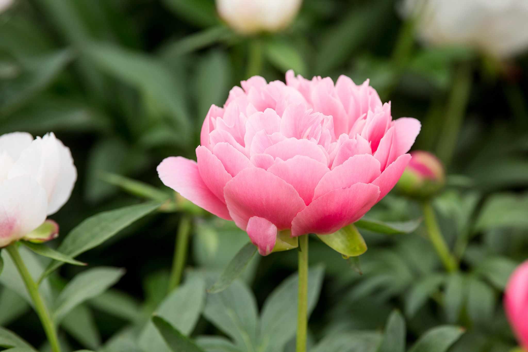 Pink peony variety 'Pink Hawaiian Coral'
