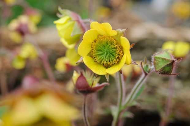 Yellow geum flower 'Poco' variety