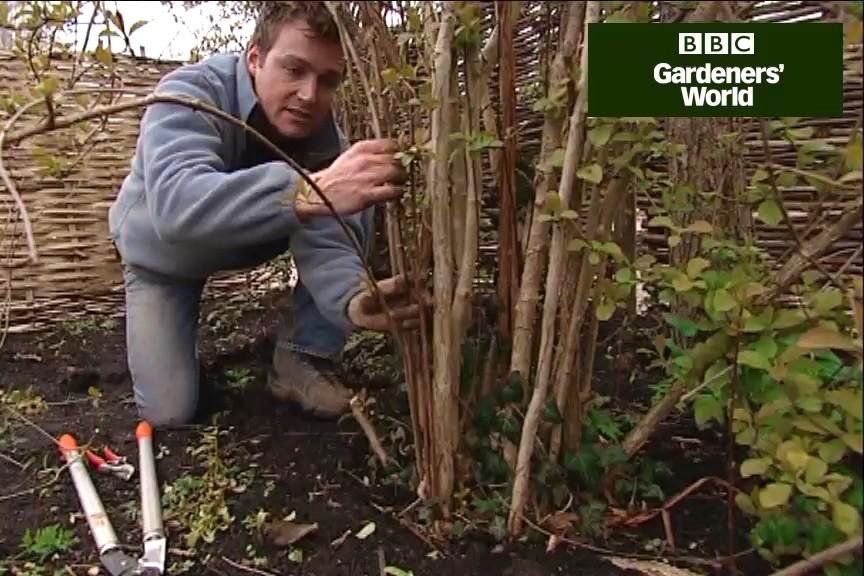How to prune viburnums video