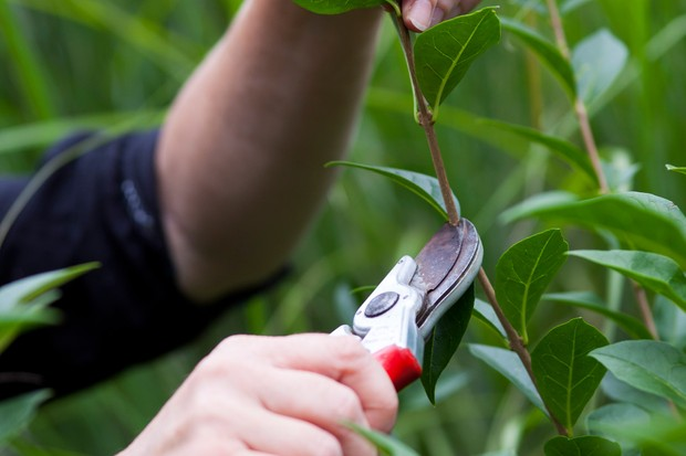 Pruning a large-leaved hedge with secateurs