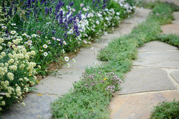 thyme-growing-in-a-patio-2