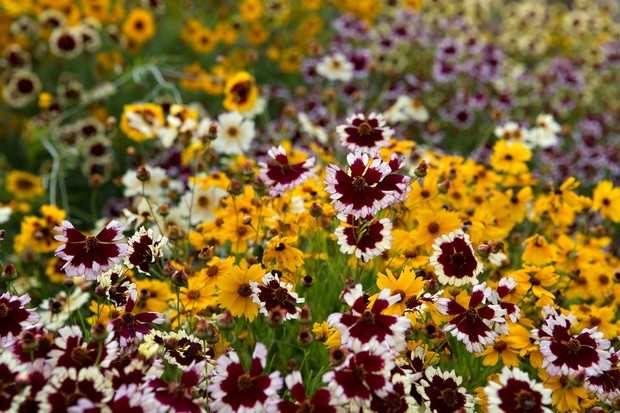 A variety of coreopsis flowers
