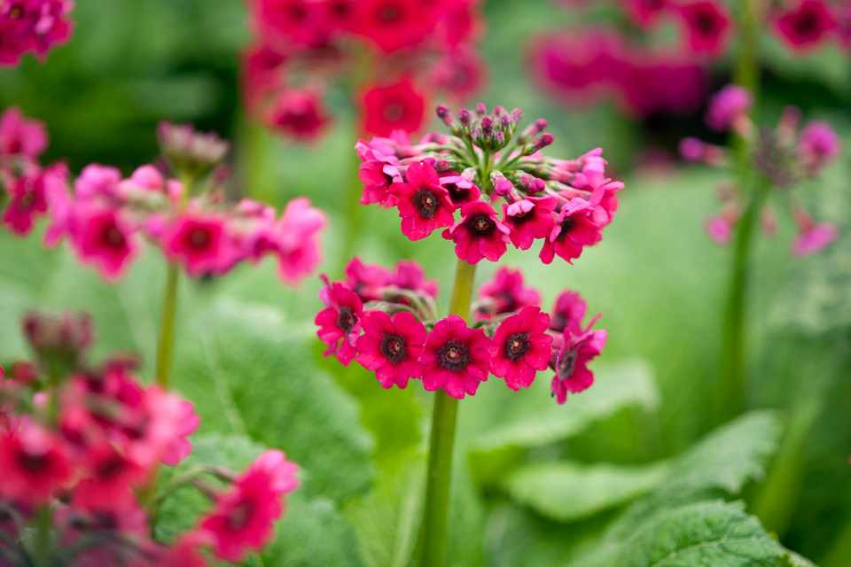 Red-pink primula blooms