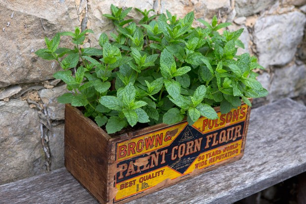 Mint growing in a vintage wooden box