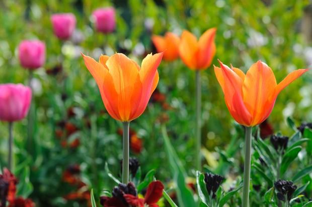 tulip-ballerina-6